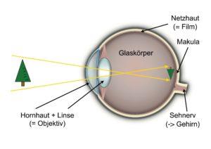 Aufbau des Auges. Grafik zur Makuladegeneration.